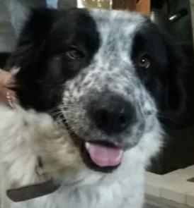 Jake mâle croisé Bouvier Bernois/Montagne des Pyrenées 3 ans