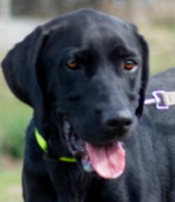 Java femelle Labrador 3 ans et demi
