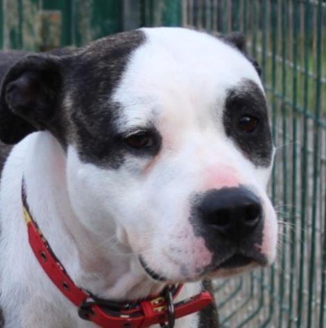 Jenna femelle Staffordshire terrier Américain 5 ans et demi