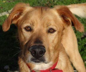 Junior mâle croisé Labrador/Boxer 3 ans et demi