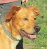 Junior mâle type Labrador 3 ans et demi