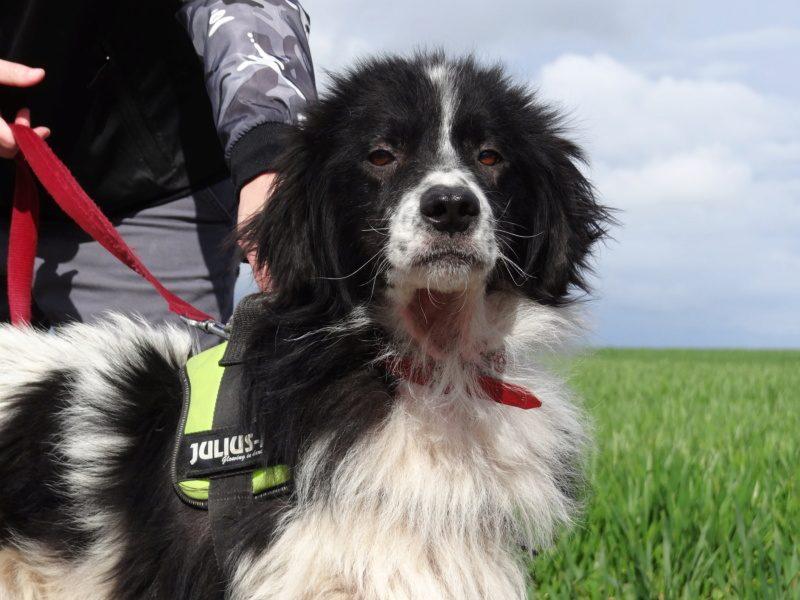 Kaplan chien mâle croisé Berger 3 ans