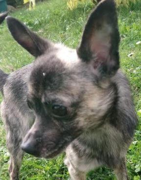 Kenji mâle Chihuahua 2 ans