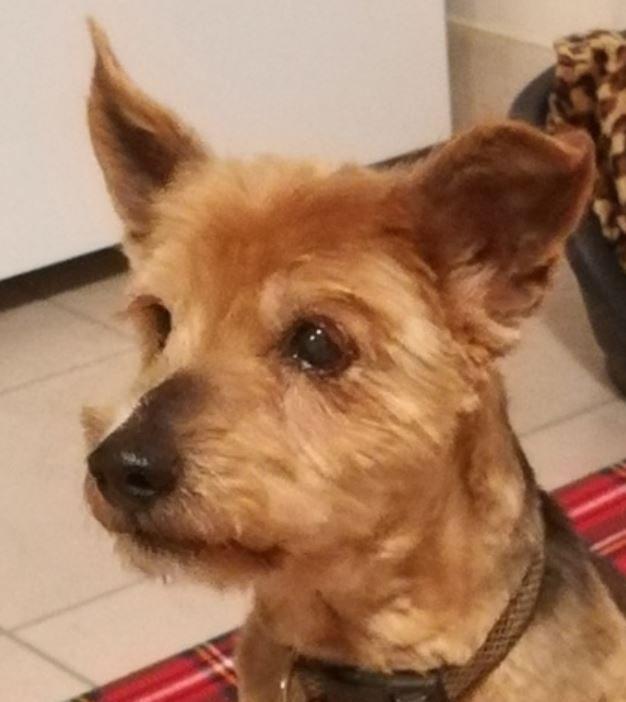 Kenzo chien mâle croisé Yorkshire 7 ans