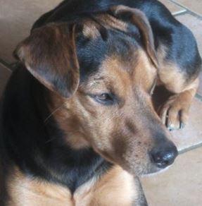 Kiwi mâle croisé Jack Russel 6 ans