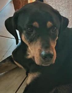 Lina femelle croisée labrador 4 ans