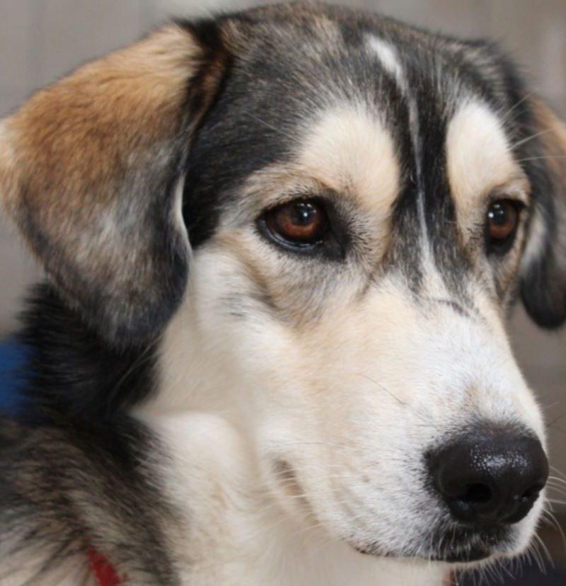 Loulou chien mâle croisé Husky 1 an et demi