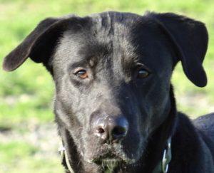 Marcus mâle Labrador 1 an