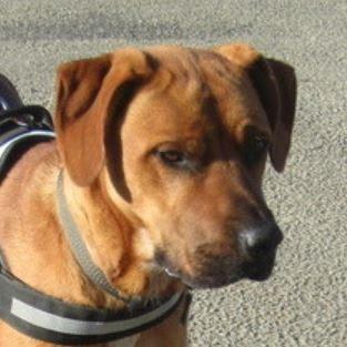 Malo mâle croisé Labrador 2 ans