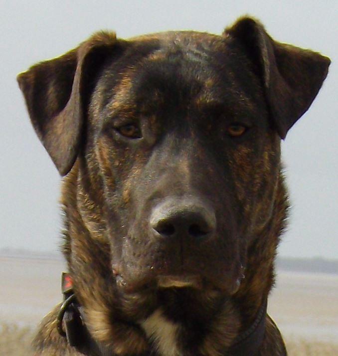 Malow mâle croisé Beauceron/Dogue Argentin 2 ans