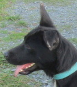 Margot femelle croisée Labrador 1 an