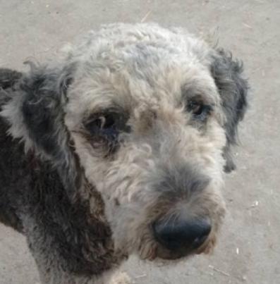Marley mâle type Airedale Terrier 7 ans et demi