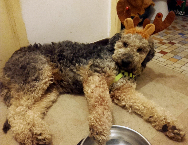 MARLEY - x airedale 8 ans - Asso Galia à Fontenay le Comte (85)  Marley