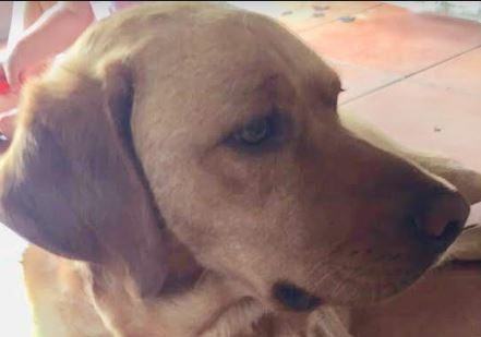 Nora femelle croisé Labrador 1 an