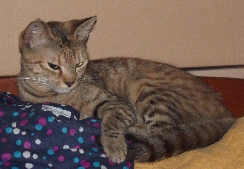 NARNIA jeune chatte énergique et câline