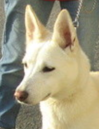 Nikita femelle croisée Husky/Labrador 1 an et demi