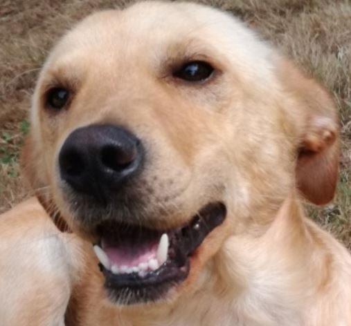 Nitro mâle croisé Labrador 1 an et demi