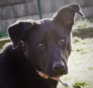 Noiraude femelle croisé Labrador 1 an