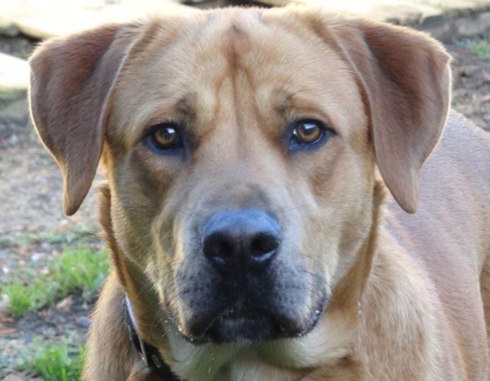 Nougât mâle croisé Labrador 1 an