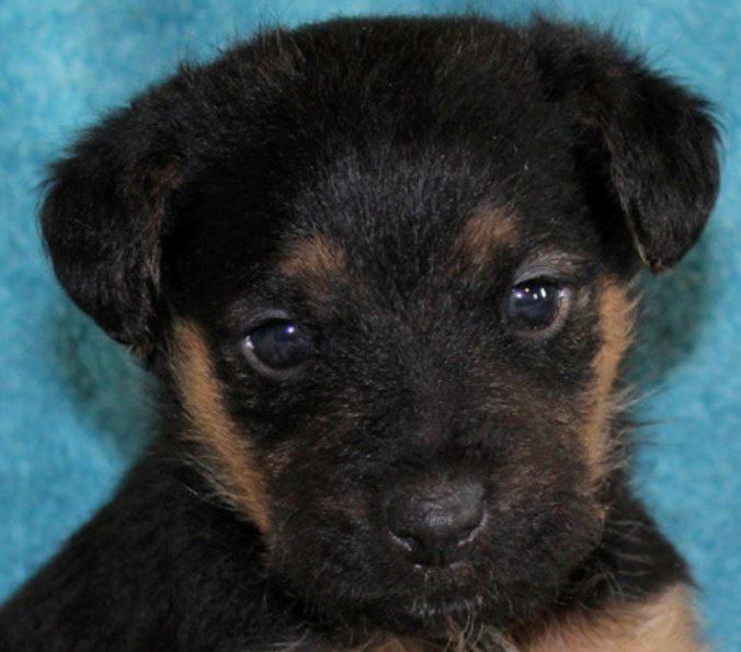Ollie chiot mâle croisé Fox Terrier/Jagd 1 mois