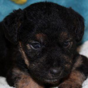 Ondine chiot femelle croisé Fox Terrier/Jagd 1 mois