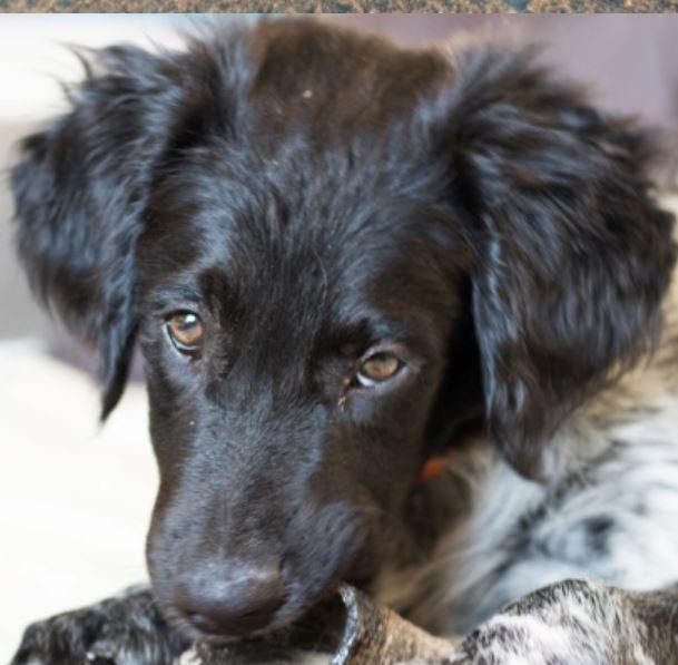 Oréo chiot mâle croisé Labrador/Epagneul  3 mois