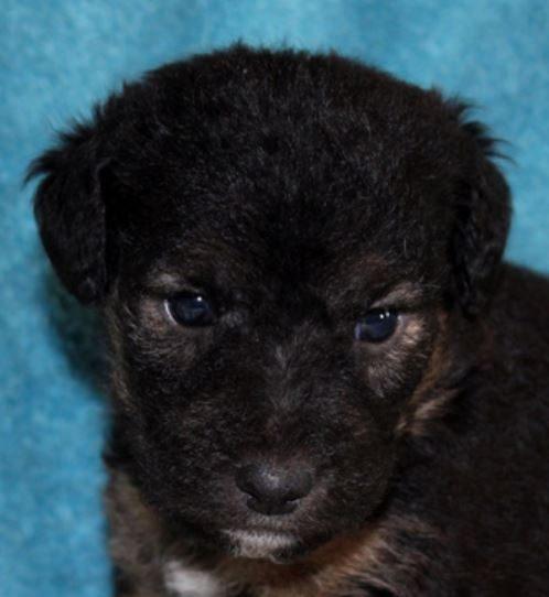Ozzy chiot mâle croisé Fox Terrier/Jagd 1 mois