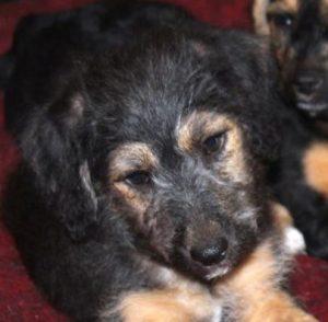 Ozzy chiot mâle croisé Fox Terrier/Jagd 2 mois