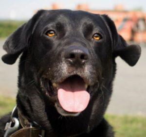 Apollo mâle Labrador 7 ans