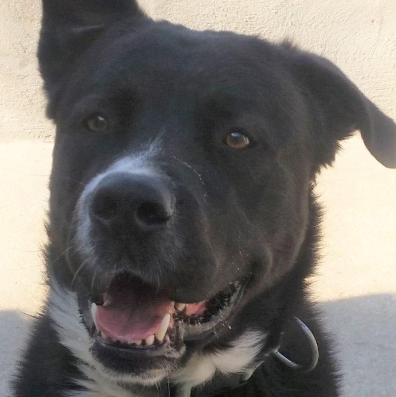 Paco chien mâle croisé Cane Corso 1 an et demi