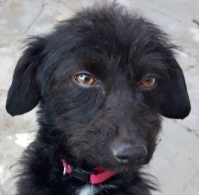 Paloma femelle croisée Caniche 4 ans et demi