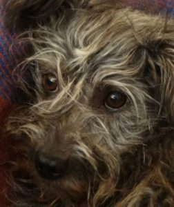 Petzi petit croisé Griffon 4 ans et demi