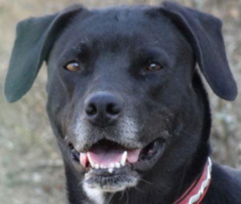 Diva femelle croisée Labrador 1 an et demi