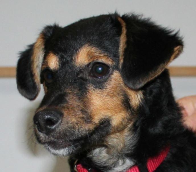 Réglisse mâle croisé Jagd Terrier 6 mois