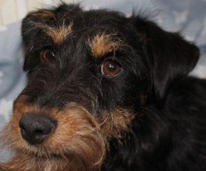 Reset femelle croisé Jagd/Fox Terrier 14 mois