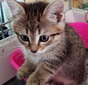 SIKY - chaton Mâle - env 2 mois