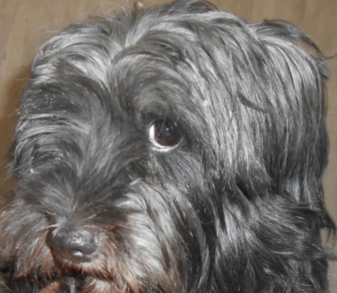 Toto mâle croisé Griffon (Sky Terrier-petit gabarit) 5 ans