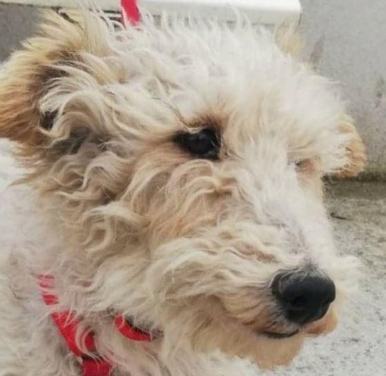 Trixey femelle Fox Terrier 8 ans
