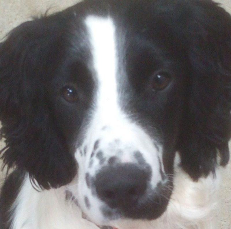 Amour chien mâle English Springer Spaniel 1 an