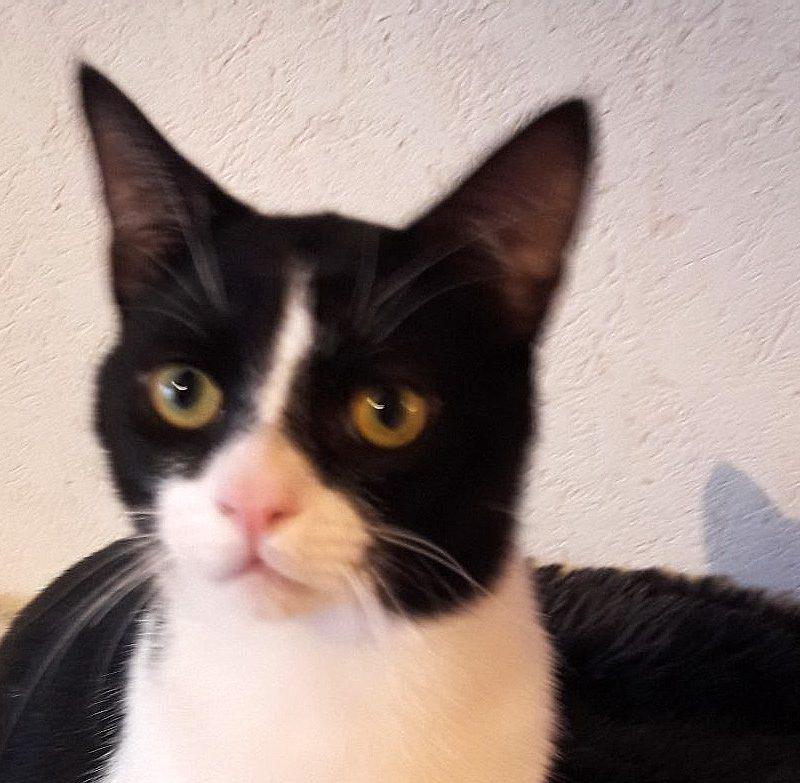 ARAMIS -1 an – jeune chat câlin