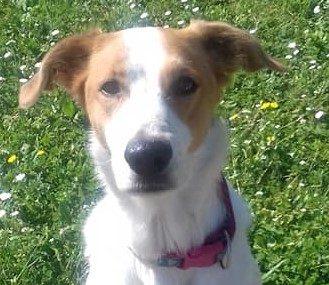 Athéna femelle berger x beagle 7 ans