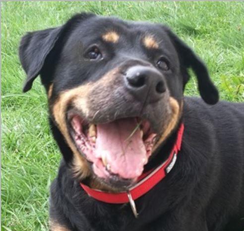 Avalanche femelle croisée Rottweiler 10 ans