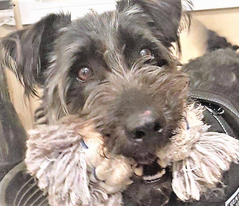 Barry chien mâle croisé Griffon 10 ans et demi
