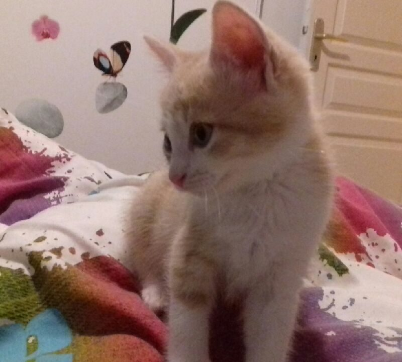 OSCAR dit «crousti» chaton 3 mois