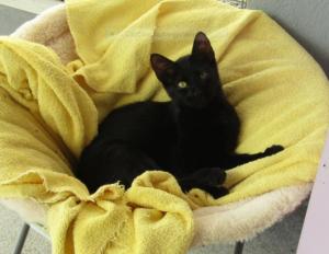 BELLE - 4 mois - chatonne câline