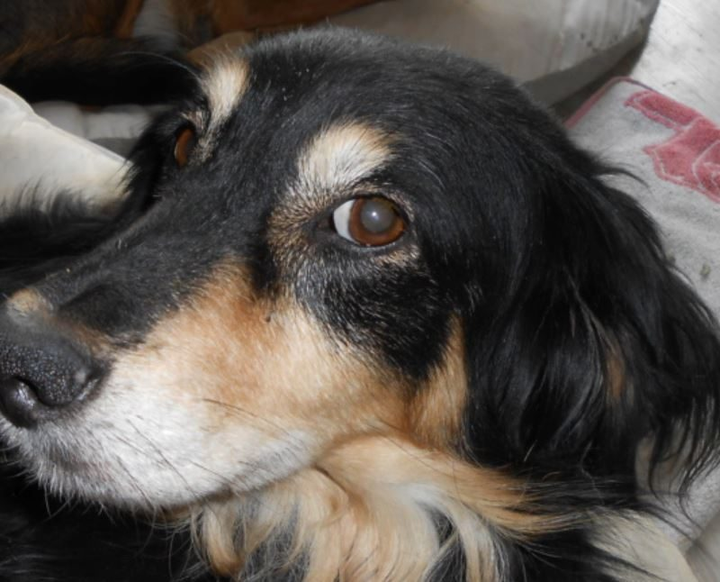 Betsy femelle croisée Berger 6 ans
