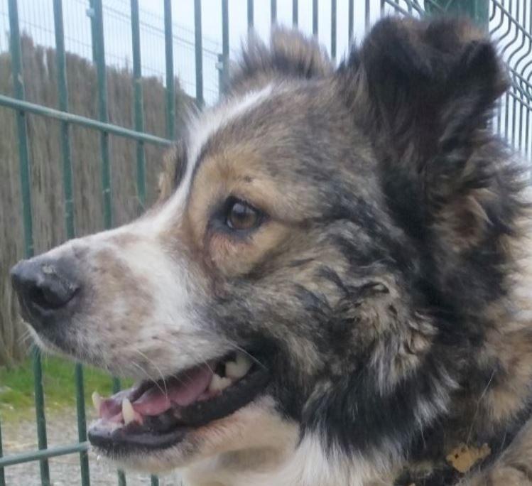 Bono chien mâle croisé Berger 6 ans