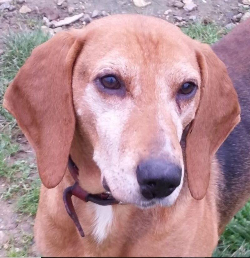 Carlos mâle Beagle croisé Anglo-Français 8 ans et demi