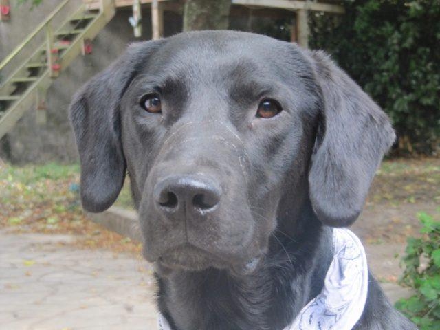 Champion mâle Labrador 1 an et demi