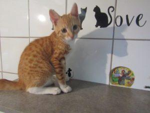 SYMBA - 4 mois - chaton bien mignon